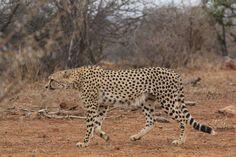 Cheetah, Lazy, Animals, Animales, Animaux, Animal, Animais