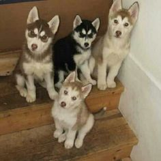 Siberian husky puppies. My heart. It is a puddle. I have melted.