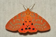 theleoisallinthemind:  Crotalaria Podborer (Mangina (formerly Argina) argus, Arctiinae) byitchydogimages