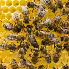 7 Queen Bee Facts that you may not know. This intriguing insect rules a honey bee colony. But, is she really the bee in charge? Learn the facts.