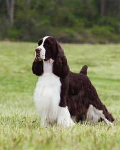 Springer Spaniel - Robert Chien Bacall - English Springer Spaniel ans) he was Lilly's grandfather Chiots Springer Spaniel, Springer Spaniel Puppies, English Springer Spaniel, Spaniel Dog, Black Lab Puppies, Dogs And Puppies, Corgi Puppies, Doggies, Dogs 101