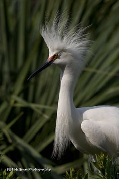 "EGRET IN ELEGANT, BREEDING PLUMAGE, St. Augustine, Florida.   The BIRDS of FLORIDA are a thrill to photograph!  Enjoy photography location tips with the ""Fascinating birds and wildlife of Florida"" slideshow at http://www.examiner.com/slideshow/fascinating-florida-birds-and-wildlife  or at the Pinterest Wanderlust board at http://pinterest.com/fmcginn/wanderlust-travel-travel-travel/"