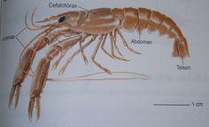 1)Los Crustáceos son un grupo de artrópodos principalmente acuáticos con el cuerpo dividido en dos partes: el cefalotórax, que agrupa la cabeza y el tórax, y el abdomen. #crustáceos