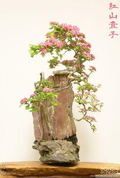 Stone with bonsai and potted Hawthorn of Beni May flower (Benisanzashi), Beni-Sanzashi, bonsai on a rock2015.5.4 photography bonsai on the rockBASEbonsai on the rockZazzle