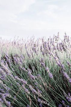 Lavender close up by Jovana Rikalo - Lavender, Nature - Stocksy United Plant Aesthetic, Aesthetic Colors, Flower Aesthetic, Aesthetic Photo, Aesthetic Pictures, Lavender Walls, Lavender Fields, Lavender Flowers, Photo Wall Collage