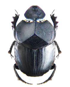 Onthophagus cernyi.  (Scarabaeidae: Dung Beetles)