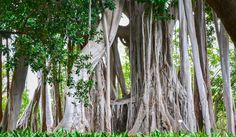 Ficus macrophylla f. columnaris or just an impressive huge tree with a lot of roots :) Ficus, Roots, Lisa, Nature, Home Decor, Naturaleza, Decoration Home, Room Decor, Figs