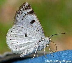 Bluish Spring Moth (Lomographa semiclarata ) -