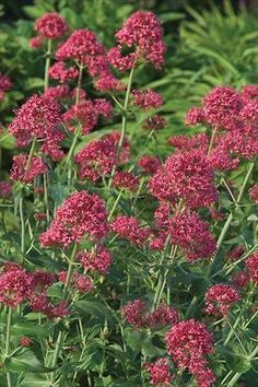 Red Valerian or Jupiter's Beard (Centranthus ruber 'Coccineus') - this is what is growing on the east side of the house! Long Blooming Perennials, Sun Perennials, Flower Beard, Herbaceous Border, Cottage Garden Plants, Language Of Flowers, Wild Edibles, Drought Tolerant Plants, Gardens