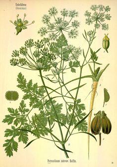 Petroselinum crispum Köhler, F.E., Medizinal Pflanzen, vol. 3: t. 24 (1890)