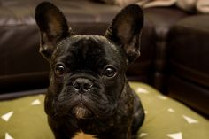 I want a black french bulldog... id name him Stitch.. they look just like stitch from the disney movie