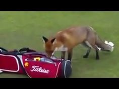 Video Watch the moment a cheeky fox tries to steal a golfer'