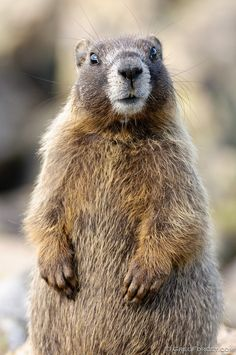 Yellow-bellied Marmot, Rocky Mountain National Park, Colorado