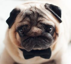 every dog needs a bow tie