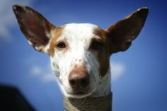 Podenco Canario... by ~Alyat on deviantART  reminds me of my Sam : )