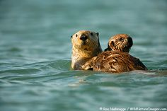 One of my favorite animals is the Sea Otter.  They are fun to watch here in Alaska.