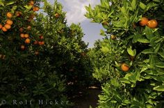 This looks like the orange grove on our street when we lived in Auburndale Florida