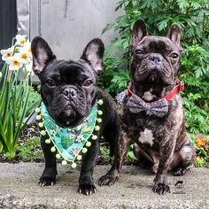 Garden parties are so fancy when we're around. It's time to ditch the sweats because it's Friday. Bandana and bow tie - use ❤️ . French Bulldog Puppies, French Bulldogs, Garden Parties, Creature Comforts, Dogs Of The World, Magical Creatures, Dog Accessories, Bandana, Corner