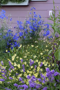 Delphinium grandiflorum 'Blue Butterfly' with Coreopsis 'Moonbeam' and Lavandula angustifolia 'Hidcote'; photo by proudgrma on GardenWeb