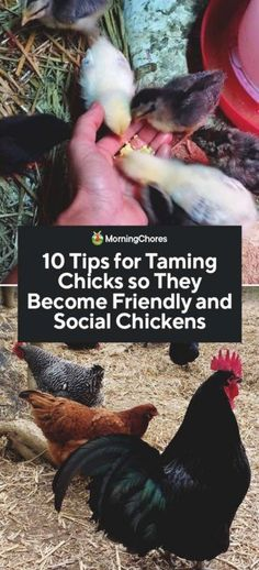 10 Tips for Taming Chicks so They Become Friendly and Social Chickens Having social chickens can be a pleasure on a homestead, and it is easy once you know how to go about taming chicks received from the hatchery. Chicken Garden, Chicken Life, Backyard Chicken Coops, Chicken Coop Plans, Chicken Runs, Diy Chicken Coop, Chicken Chick, Chicken Animal, My Pet Chicken