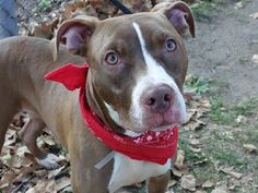 STILL ALIVE!! 10/23/13 Manhattan Center-P~HARRIET~ID #A0981800. Spayed female brown & white pit bull mix. 3 YRS old. STRAY10/11/2013. Harriet has a shy but friendly demeanor. She does some happy girl scampers as we walk in the park, thrilled to be outside. She is responsive and manageable on leash, Harriet did GREAT on ALL behavior tests! This pup would compliment any home. Harriet is hoping to find a new home w/ nice walks, playtime and lots of cuddles. HARRIET IS AN EASY CHOICE!!!