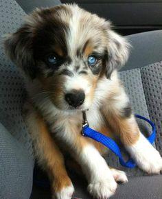 cute australian shepherd puppy with blue eyes
