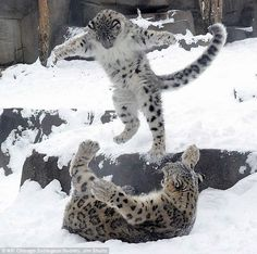 Snow leopard cub plays with mom in snow (Video)