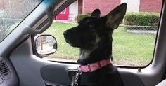 Car  Security   Recommendations for GSD Owners -- ilovegermanshepherds.com #pet_travel_tips #german_shepherds #german_shepherd_breed #german_shepherd_news #german_shepherd_dog #German_shepherd