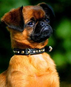 Petit Brabancon Smooth Brussels Griffon - photo: Maria Michaëlsson - source & copyright info: http://commons.wikimedia.org/wiki/File:0709_gucci_stolt.jpg