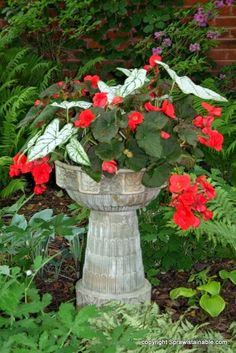Lady Anne's Charming Cottage: A Charming Shade Garden...Calediums & Begonias