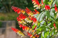 Mexikói Csodahajnalka (Ipomoea lobata) gondozása, szaporítása Flowers, Plants, Plant, Royal Icing Flowers, Flower, Florals, Floral, Planets, Blossoms