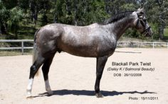 He is by Daley K from Balmoral Beauty (by Balmoral Boy) and is typical of the many very good showjumping horses that have been bred  at Blackall Park along similar lines.