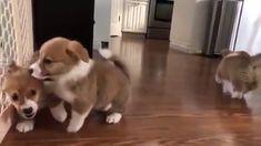 How cuteeee - Cute Corgi Puppy Rule The World Cute Funny Dogs, Cute Corgi, Cute Funny Animals, Cute Baby Animals, Animals And Pets, Cute Dogs And Puppies, Baby Dogs, Super Cute Animals, Cute Animal Videos