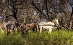 Wild horses on the Salt River. Surprisingly there is plenty of food and water to be found along the river. Tonto National Forest Mesa Arizona.