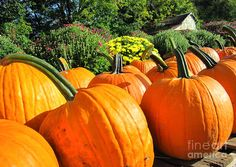 Pumpkins For Sale Photograph For those of you looking for a vibrant Art Print or  Greeting Card to celebrate this Autumn and share with your family and friends to tell them how thankful you are to have them in your life, this is it! Beautifully captured by our own local photographer Cindy Loomis Clark aka: Cindy Ellen. Order now for your Fall Celebrations.Order online at  http://fineartamerica.com/featured/pumpkins-for-sale-cynthia-clark.html