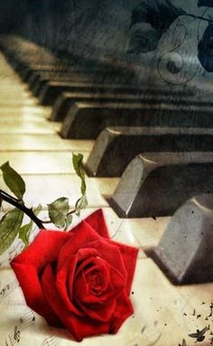Piano Keys  A Rose