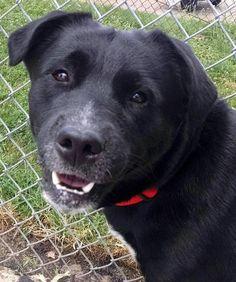 Meet 27 Bert, a Petfinder adoptable Labrador Retriever Dog | Canton, OH | Release date 8/8.  $86.00 fee includes OH license, DA2PP, Bordetella vaccine, Hw testing, Worming...