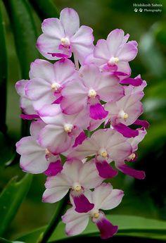 Güzel orkide