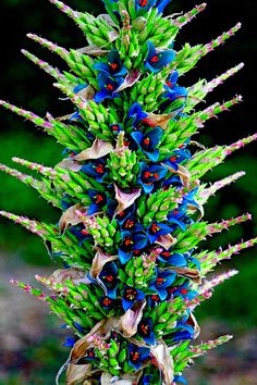 This plant from the Andean highlands of Chile has just flowered for the first time after 10 years. The effort will kill the plant!  Related to the pineapple plant.  Puya Alpestris by Rhys Jones Photography.  How poetic that it flowers profusely before it dies.