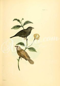 birds-03618 Grassquit ArtsCult.com Artscult ArtsCult vintage printable public domain 300 dpi commercial use 1800s 1700s 1900s Victorian Edwardian art clipart royalty free digital download picture collection pack paintings scan high qulity illustration old books pages supplies collage wall decoration ornaments Graphic engravings lithographs century 18th 17th Pictorial fabric transfer scrapbooking Paper craft instant masterpiece pre-1923