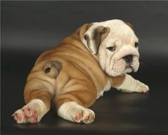 English Bulldog Puppies - 45 Pictures