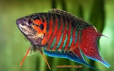 Paradise fish, Macropodus opercularis, red variety.  Easy to keep, bubble-nest breeder.