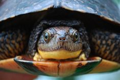 Adult Blanding's turtles have built in protection against predators; that's their big strong shell! It's a different story for nestlings, young Blanding's turtles are small and defenceless with soft shells, which makes them a target for hungry predators. More turtle facts: http://www.earthrangers.com/wildwire/blandings-turtle/