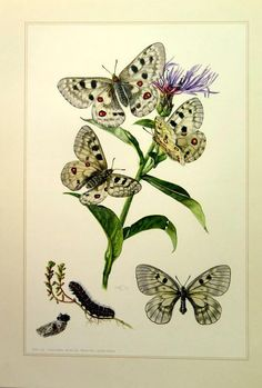 Antique butterfly ithograph engraving 1967 mountain Apollo
