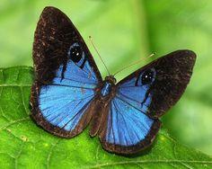 Lycaenidae - Riodininae, Mesosemia asa asa