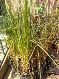 Cortadellia Herbs, Plants, Deco, Herb, Plant, Planets, Medicinal Plants