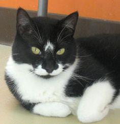 Adopt Orea @ Feline Rescue, St. Paul, MN, female, fully vetted