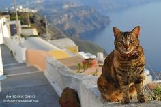 Aegean cat in Oia village, Santorini island, Greece. Selected by www.oiamansion.com