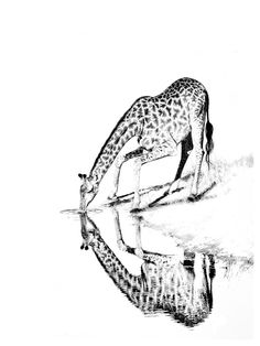 BW wall art print of a giraffe drinking. African photographic images by wildlife photographer Dave Hamman