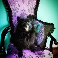 Lilly wanted me to take a picture of her too. #hauntedmansiontribute #hauntedmansion #pom #pomeranian #cutepom #gothic #gothicmarthastewart  #gothicdecor #gothicdecorating